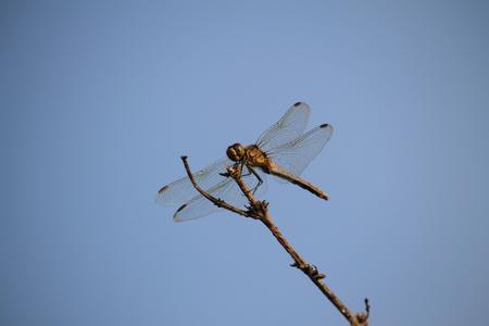 A flight of dragonflies