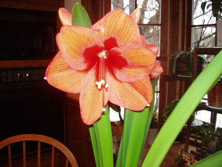 Orange Orchid in Bloom
