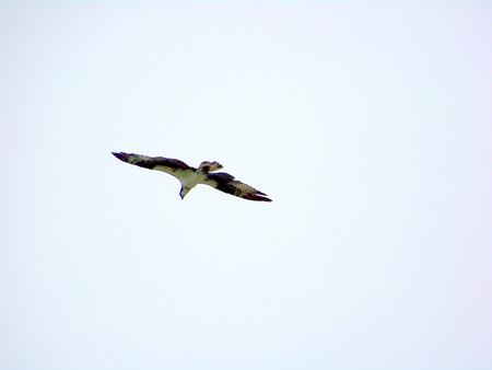 osprey: Osprey in Flight