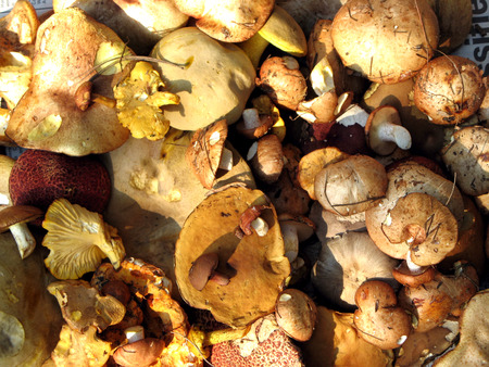 Wild Freshly Picked Mushrooms