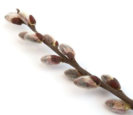 sallow: Willow branch on a white background