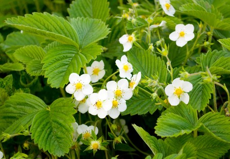 green plant: Strawberry flowering on a farm in the spring