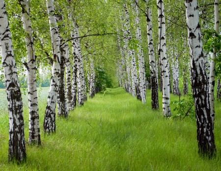 A number of birches with a green grass