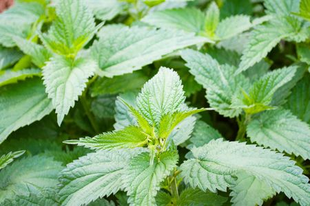 Green leaves of a nettle close up