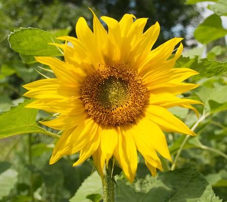 One rasvevshy sunflower field photo
