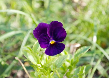 pansy flower in the flower bed Stock Photo - 7302471