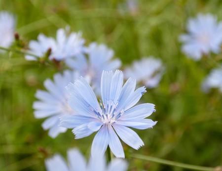 acuminate: blue cornflower in a meadow