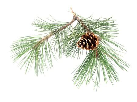 abetos: Rama de pino con el cono sobre un fondo blanco