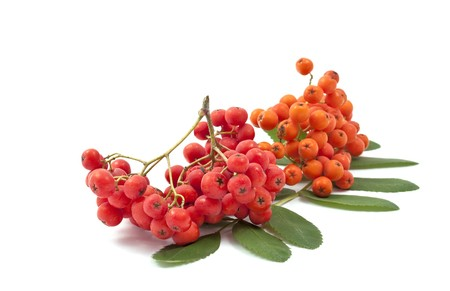 bunchy: bunch of red rowan on a white background Stock Photo