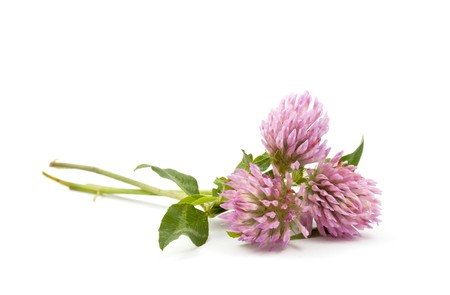 clover on a white background Stock Photo - 7791037