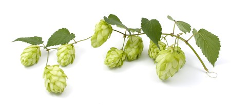 hop cones on a white background photo