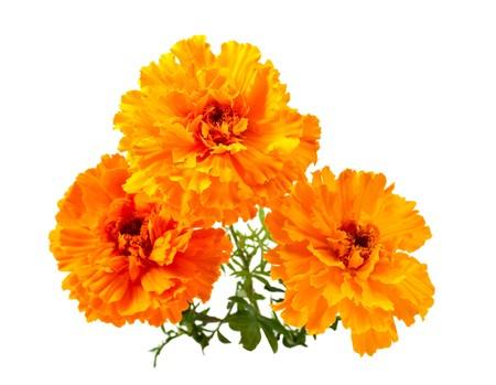 marigold: Marigold flower on a white background Stock Photo