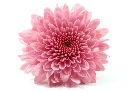 chrysanthemums: chrysanthemum flower on a white background Stock Photo