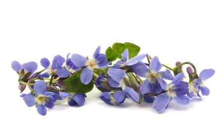 violets: violet on white background