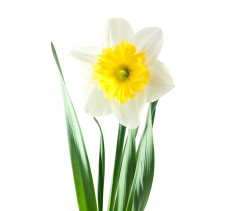 floridity: daffodil flower on white background