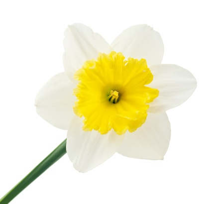 attar: daffodil flower on white background