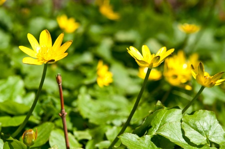 yellow flowers in the park in spring photo