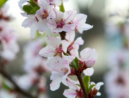 A flowering tree in spring photo
