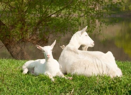 Goats grazing in the meadow Stock Photo