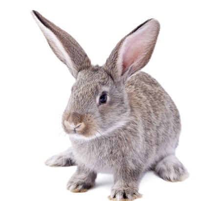 gray hair: rabbit on a white background