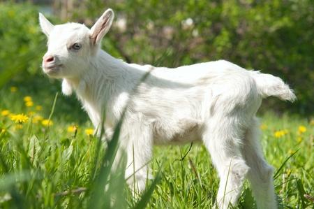 little goat in the meadow