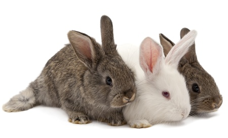 huddle: rabbit on a white background