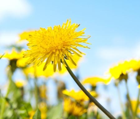 commonplace: Dandelion su sfondo blu cielo Archivio Fotografico