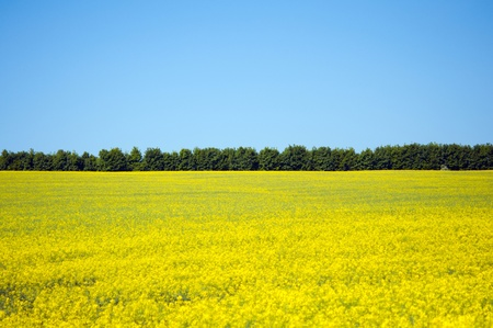 pflanze: blooming canola field in spring