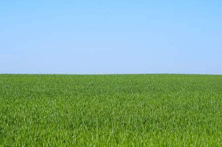 grass field: spring wheat field on a background of blue sky