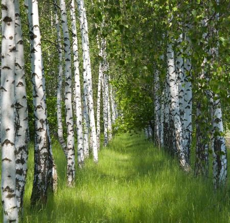 birch bark: birch grove in the spring