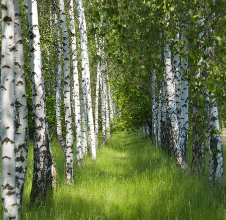 arboleda: grove de abedul en la primavera