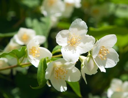 jasmine bush: a branch of jasmine on a bed Stock Photo