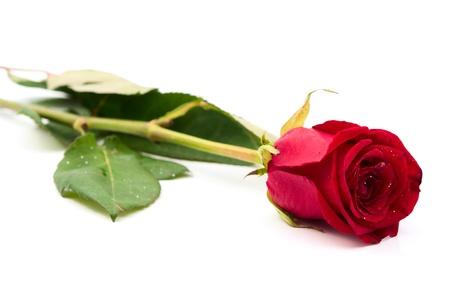 mujer sola: Rosa Roja sobre fondo blanco Foto de archivo