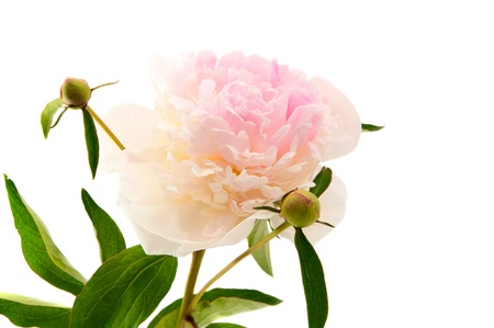 Peony on a white background Stock Photo