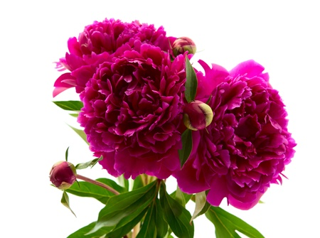 red peony on a white background