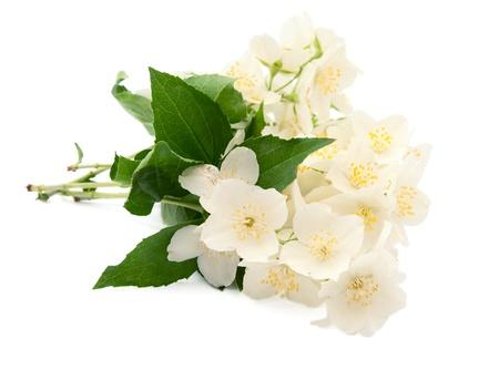 jasmine flower: Jasmine on white background
