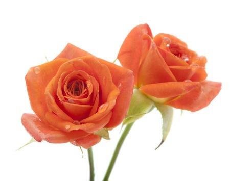 Orange rose on white background Stock Photo