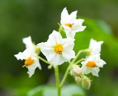 potato field: Potato flowers in the garden