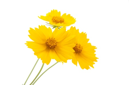 meadow yellow flower on a white background photo