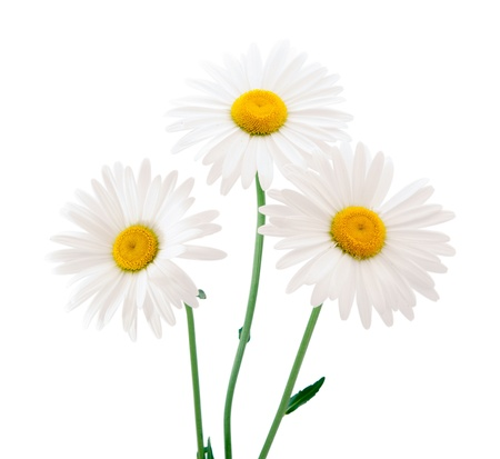 camomiles: daisy on a white background
