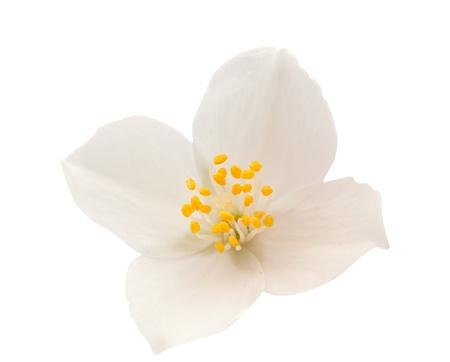 jasmine flower:  Jasmine on white background Stock Photo