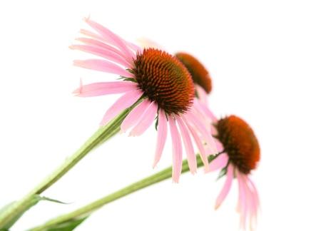 plantas medicinales: La equinácea sobre un fondo blanco