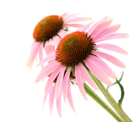 coneflowers: Echinacea on a white background