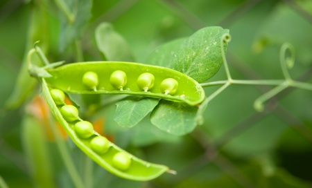 leguminosae:  peas growing on the farm