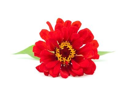 zinnia: Zinnia flower on a white background