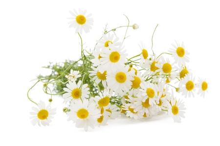 Medical chamomile on white background Stock Photo
