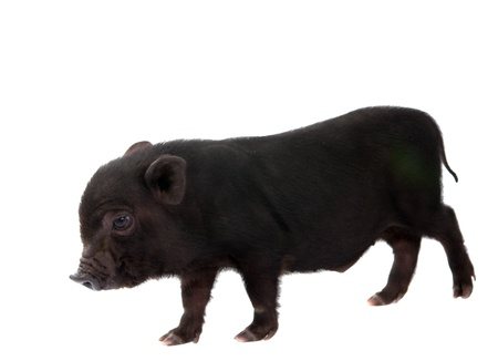 Pig on a white background Stock Photo