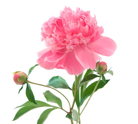 pink peony on a white background Stock Photo
