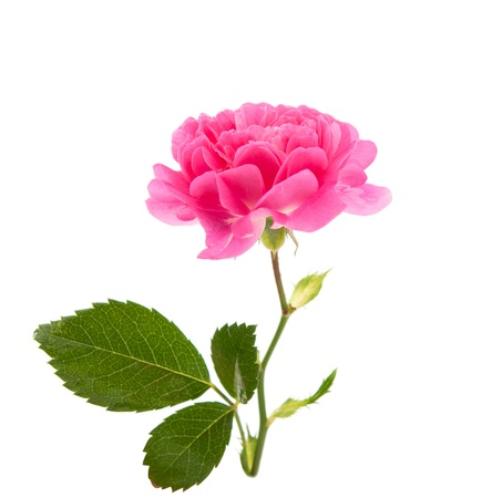 pink curly rose on a white background photo