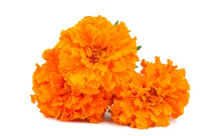 Marigold flower on a white background 版權商用圖片 - 10417134